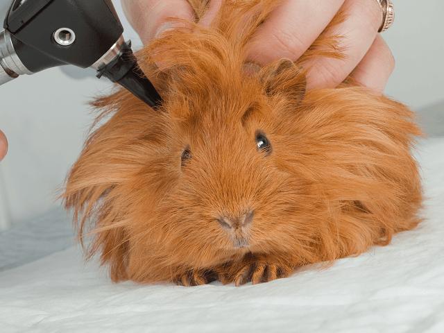 Morča u veterinára